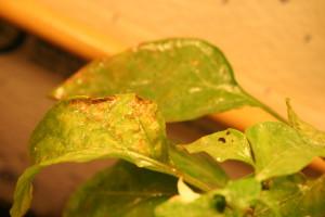 getting rid of aphids on pepper plants. Black Bedroom Furniture Sets. Home Design Ideas